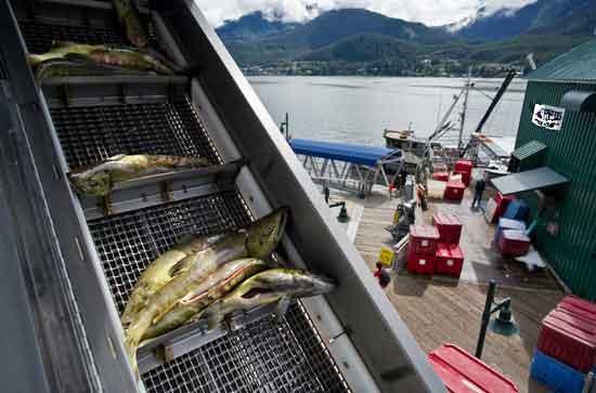 نوار نقاله بارگیری ماهی