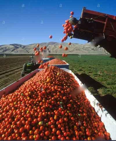 کانوایر بارگیری گوجه فرنگی