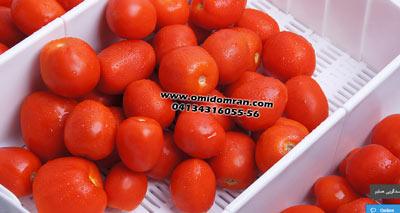 تسمه مدولار برای انتقال گوجه