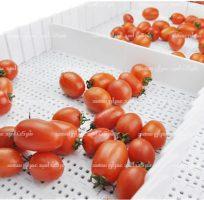 تسمه نقاله مدولار برای سورتینگ گوجه فرنگی: